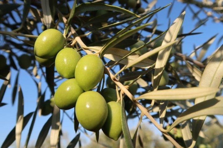que es una almazara cortijo la torre molino aceite de oliva virgen extra aove cosecha temparana comprar online